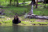 Grizzly Bear on the banks of the Yellowstone River