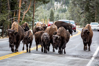 Bison have the right of way in Yellowstone.