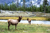 Once the snow fell elk were more commonly seen.