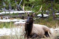 A young bull elk who may one day fight for the privilege to add his DNA to the Madison herd's genepool.
