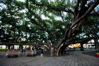 beneath the Banyan tree in Lahaina, which was planted in 1873...