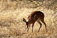 the solitary Steenbok....