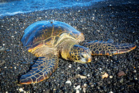 Green Sea Turtle snoozes at Kiholo Bay