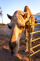 I met this camel in Knights Ferry at sundown