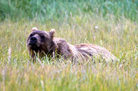 Carol was the first bear we saw at Hallo Bay...