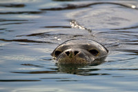 an endangered Hawaiian Monk Seal in Lahaina Harbor....